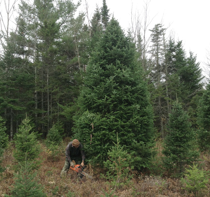 Crew member cutting an 18 foot special order tree, destined for New York City