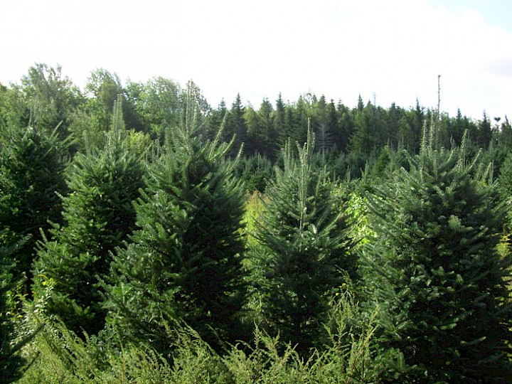Our trees waiting to be sheared