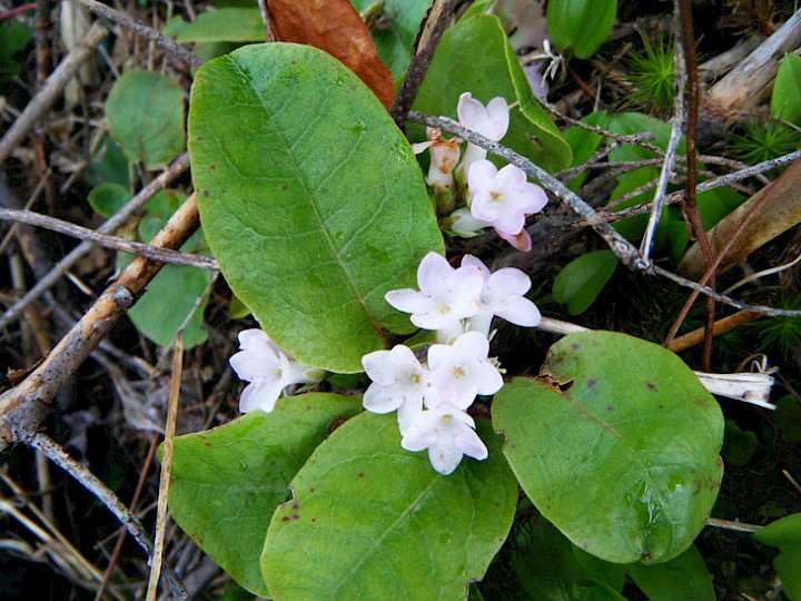 Nova Scotia's Provincial flower, the Mayflower (trailing arbutus) can be found in abundance in the tree lots in early spring