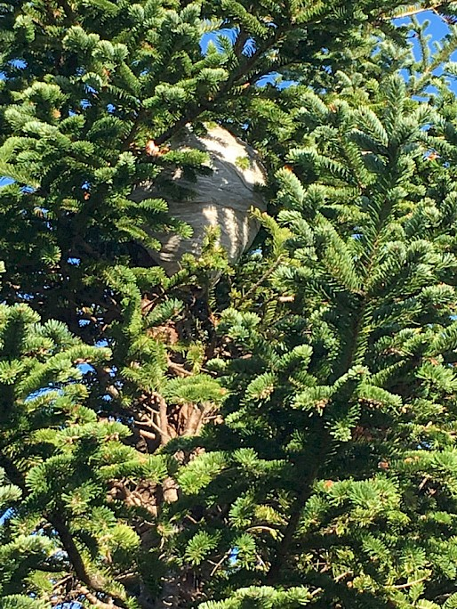 Wasp nest in a large fir tree; we see many wasp, hornet and bees nests during the shearing season