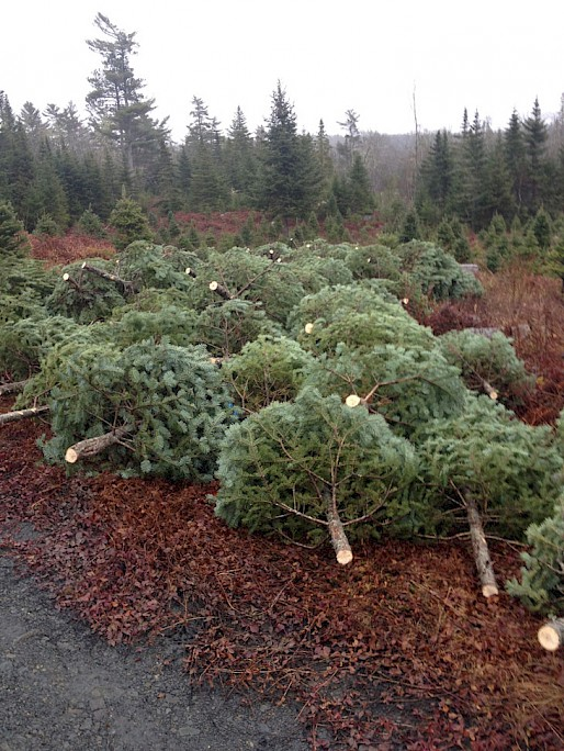 Our Christmas trees ready to be baled