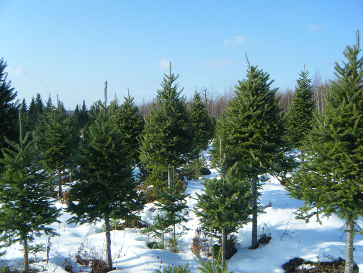 A stand of light density and bale grade trees